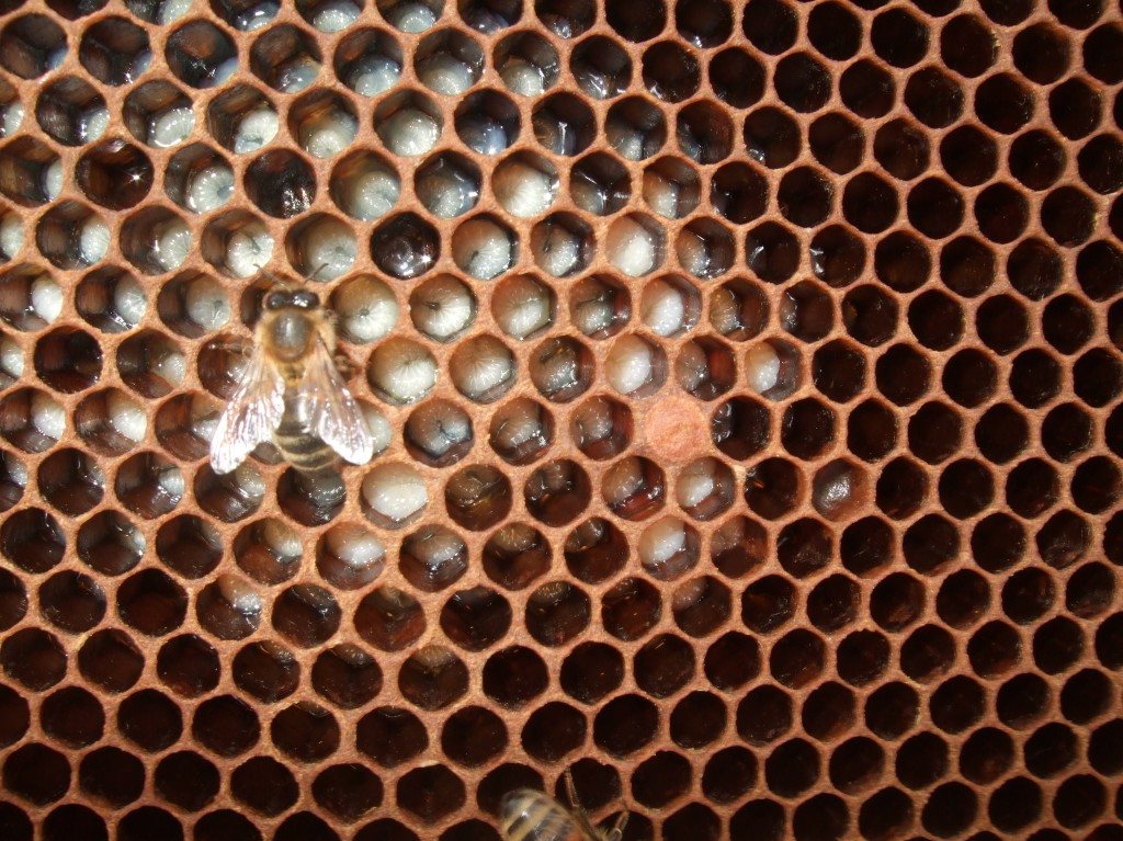 uncapped honeybee brood