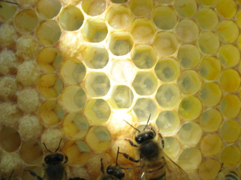 Bee eggs hatching - photo#3
