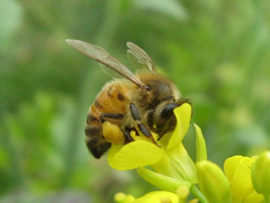 Bee-With-Pollen-LR.jpg