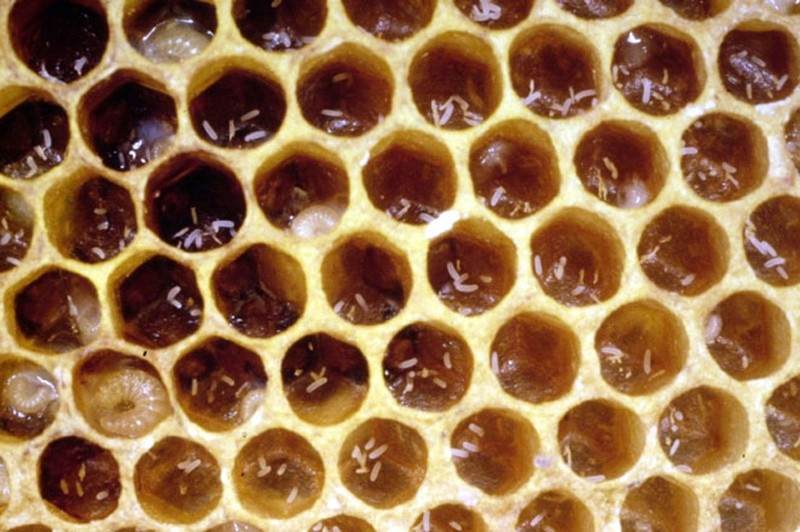 queen bee laying eggs - photo #39